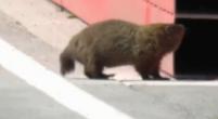 Afbeelding: Nicholas Latifi versus marmot tijdens VT1 in Canada!